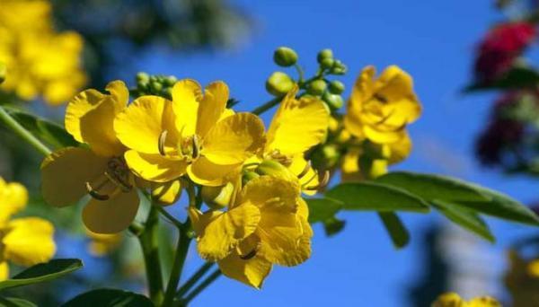 برگ سنا برای یبوست؛ مفید یا مضر؟