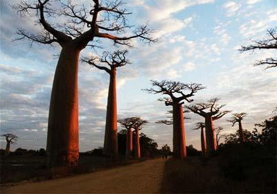 عجیب ترین درخت های دنیا وارونه اند